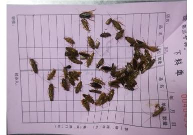收集蟑螂卵夹及尸体